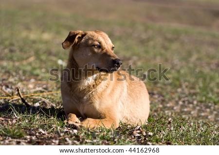 dog lies prone