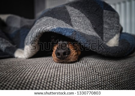 dog lies under a blanket and only the snout looks out