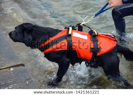 Dog lifeguard who work with the Italian Coast Guard, and are believed to save about 3,000 people every year.There are currently 300 canine lifeguards working on Italian beaches #1421361221