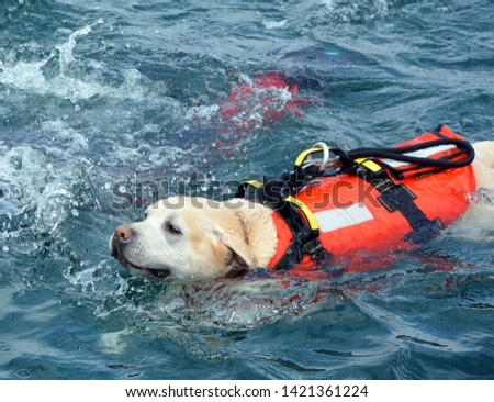 Dog lifeguard who work with the Italian Coast Guard, and are believed to save about 3,000 people every year.There are currently 300 canine lifeguards working on Italian beaches #1421361224