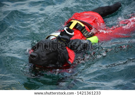 Dog lifeguard who work with the Italian Coast Guard, and are believed to save about 3,000 people every year.There are currently 300 canine lifeguards working on Italian beaches #1421361233