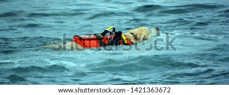 Dog lifeguard who work with the Italian Coast Guard, and are believed to save about 3,000 people every year.There are currently 300 canine lifeguards working on Italian beaches #1421363672