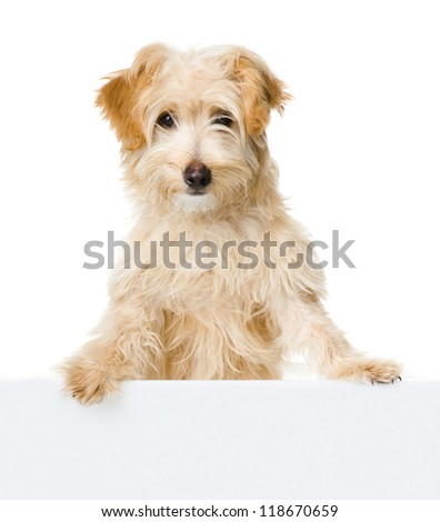 dog looking and camera.  isolated on white background