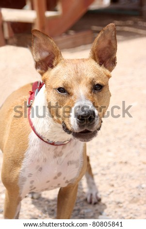Dog looking for direction on her next command