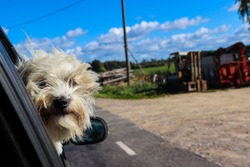 Dog looking out the car window during the drive. Small white dog happy to make a trip to the countryside. Mans best friend on an adventure with his owner. Little companion enjoying travel and life.