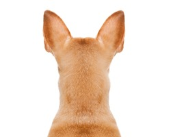 dog looking straight, from behind showing back and  rear torso , while sitting , isolated on white background