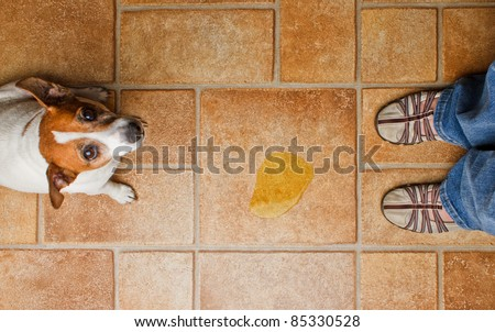 Dog looking up at it's master as she discovers it's urine on the floor - stock photo
