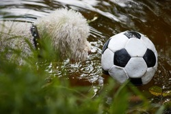 Dog lost football or soccer ball in pond