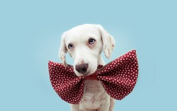 dog love. Celebrating valentine's day with romantic red heart shape bowtie. isolated on blue background.