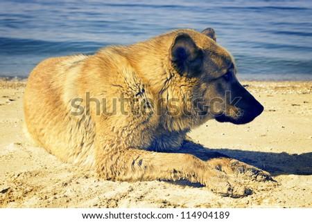 Dog lying on seacoast