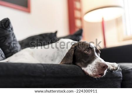 Photo of Dog lying on sofa.