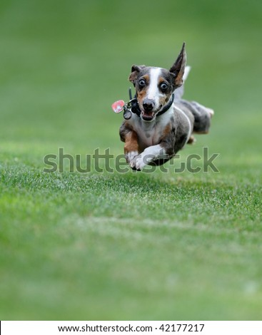 Dog (Miniature Dachshund) in flight