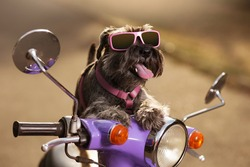 dog miniature schnauzer on a lilac moped, in sunglasses, with a protruding tongue, as if driving, a travel concept