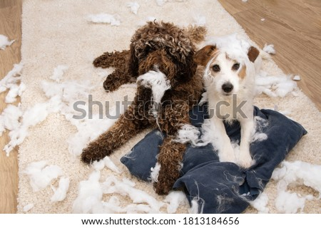 Dog mischief. Two dogs with innocent expression after bited a pillow. separation anxiety and obedience concept. Stock photo ©