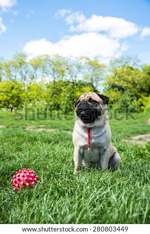 Dog Mops on nature background