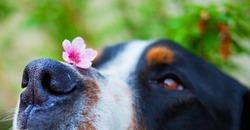 Dog Nose Close-up. Macro of a dog's nose with cherry blossoms or sakura.