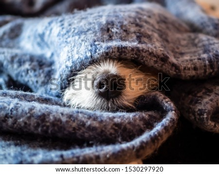 Dog nose wrapped in a blue blanket, sleeping dog, hygge, close-up Stock photo ©