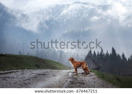 dog Nova Scotia duck tolling Retriever in the mountains, beautiful views, landscape and nature #676467211