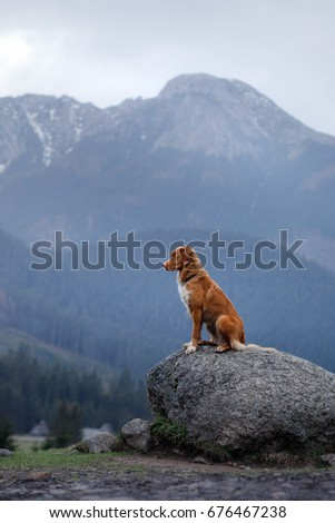 dog Nova Scotia duck tolling Retriever in the mountains, beautiful views, landscape and nature #676467238