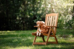 Dog Nova Scotia Duck Tolling Retriever lying in the garden on a wooden table