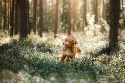 Dog Nova Scotia Duck Tolling Retriever walk in the forest in summer