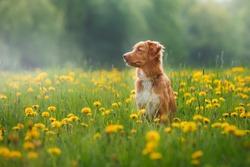 Dog Nova Scotia Duck Tolling Retriever walking in a field in summer