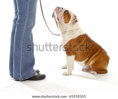 dog obedience training - english bulldog looking up watching handler on white background