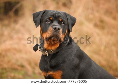 dog of breed a Rottweiler on walk Zdjęcia stock ©