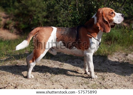 Dog of breed Beagle in the field - stock photo