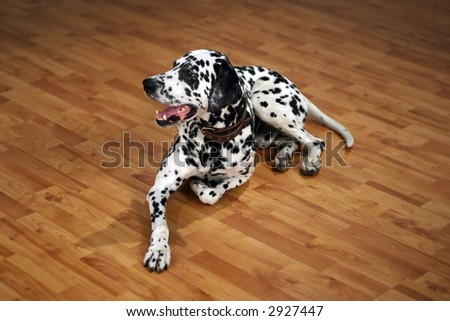 Dog of breed dalmatian, laying on a floor