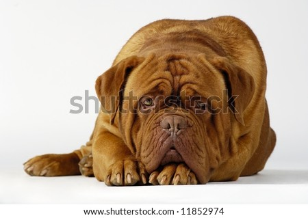 Dog of breed mastino neapolitano