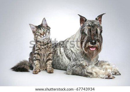 Dog of breed  mittel schnauzer with a small kitten on a grey background
