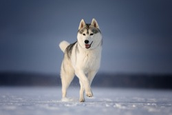 Dog of breed siberian husky