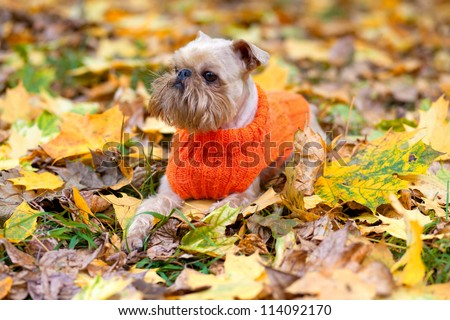 Dog of breed the Brussels griffon sits in a park in autumn.