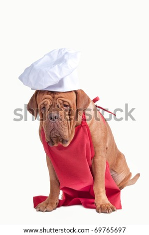 Dog of Dogue De Bordeaux breed dressed as a chef, isolated