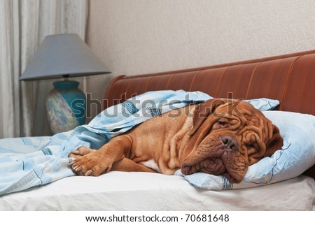 Dog of Dogue De Bordeaux breed is Sleeping on Master's Bed