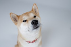 Dog of Japanese breed Shiba Inu looks up attentively. Studio portrait. Wet nose close up. Selective focus. Concept canine scent, sense of smell, healthy dog. White background. Isolated.