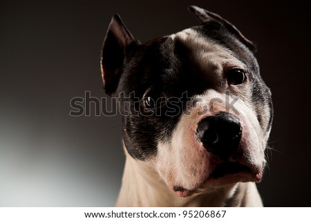 Dog of the American staffordshire breed  studio shot lack background