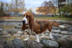 Dog of the Basset Hound breed stands on stones in the city.