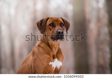 dog of the Ridgebek breed in the winter forest #1036094503