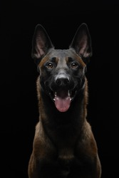 dog on a black background in the studio. Beautiful light. belgian shepherd portrait. Pet indoors