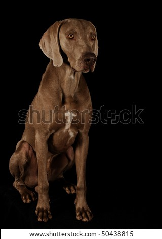 Dog on a black background. Weimaraner