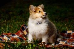Dog on a blanket. Shetland sheepdog puppy