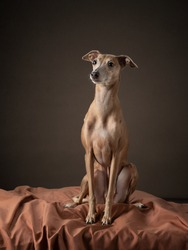 dog on a brown drapery background. graceful Italian greyhound. Studio photos of a pet.