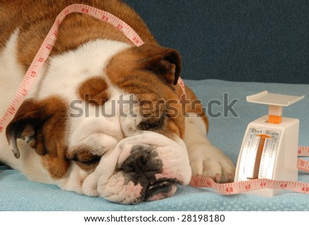 dog on a diet - english bulldog sad about dieting - stock photo