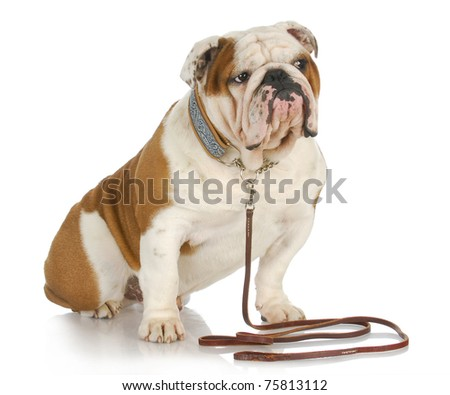 dog on a leash - english bulldog sitting wearing collar and leash on white background