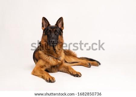 Dog on a white background Сток-фото ©