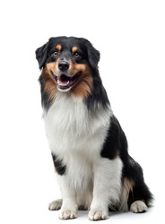 dog on a white background. Happy pet in the studio. Tricolor Australian Shepherd. Photo for design