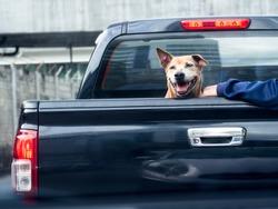 Dog on black pick up truck -back view