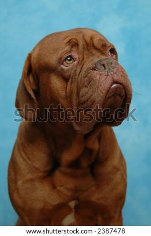 Dog on blue background. Taken in studio